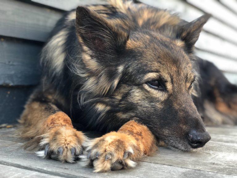 Livet med en gammel hund